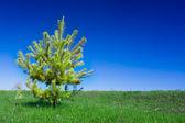 Single spruce tree — Stock Photo