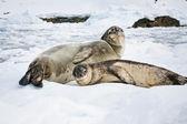 Tuleně — Stock fotografie