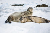 Yavru fokların — Stok fotoğraf