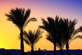 棕榈树的剪影 — 图库照片