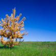 Single spruce tree - Stock Photo