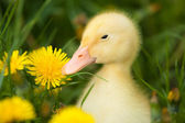 Small duckling — Stock Photo