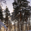 Sunrise in the winter forest — Stock Photo