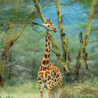 Stock Photo: Giraffe in forest, Kenya