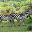Zebras family with foals — Stock Photo