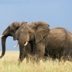Running african elephants — Stock Photo