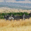 Zebras herd in Masai Mara — Stock Photo