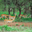 Antelopes impala — Stock Photo #5449896