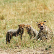 Stock Photo: Cheetah with cubs