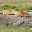 Stock Photo: Lions family