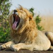 Stock Photo: Yawning lion