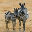 Zebra with foal — Foto Stock