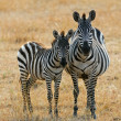 Zebra with foal — Stock Photo