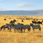 ñus cebras y antílopes en la sabana — Foto de Stock   #5449972