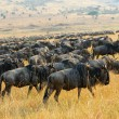 Постер, плакат: Great migration of antelopes wildebeest Kenya