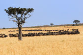 African landscape with antelopes gnu — Stock Photo
