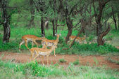 Antelopes impala — Stock Photo