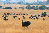 Ostrich and antelope gnu — Stock Photo