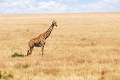 Giraffe in the African savannah — Stock Photo