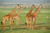 Giraffes herd — Stock Photo