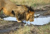 Lion is drinking a water from a puddle — Стоковое фото