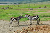 Zebras. The talk — Stock Photo