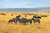 Zebras and antelopes wildebeest in the savannah — Stock Photo