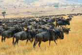 Great migration of antelopes wildebeest, Kenya — Stock Photo
