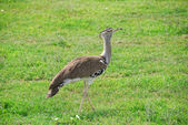 Abetarda-gigante africano do pássaro — Foto Stock