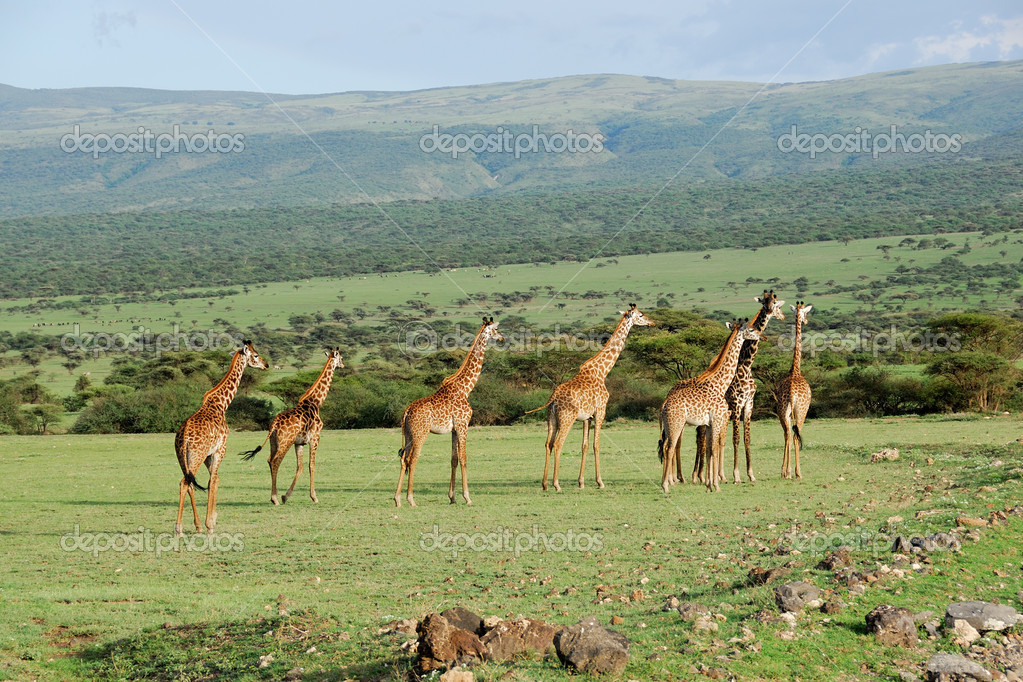 Giraffes herd in the african savannah — Stock Photo #5449939