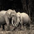 African elephant — Stock Photo #5450034