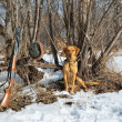 Stock Photo: Hunting dog and rifle
