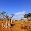 Endemic forest on the Socotra island — Stock Photo