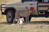 Safari, cheetah and off-road car — Stock Photo