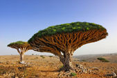 Dragon blood tree — Stock Photo