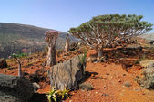 Endemic plants on the Socotra island — Stock Photo