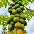 A papaya tree - Stock Photo