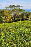 Plantación de té — Foto de Stock