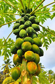 A papaya tree — Stock Photo