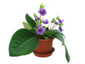 Violet sinningia — Stock Photo