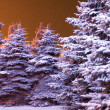 Blue firs — Stock Photo