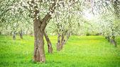 Floração de árvores de maçã — Foto Stock