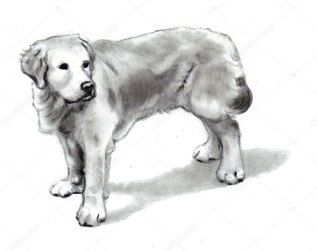 Commandes de chien golden retriever dessin au crayon photo 6088383 - Dessin golden retriever ...