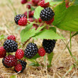 Blackberry bush - Stock Photo