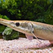 Long nose fish — Stock Photo