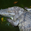 Crocodile close-up — Stock Photo