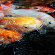 Tropical fishes — Stock Photo #5828011