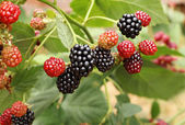 Blackberry bunch — Stock Photo