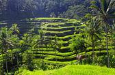 Rizière en terrasse beauté — Photo