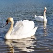 Two swan - Stock Photo
